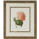framed artwork Botanical Hortensia by P.J. Redoute