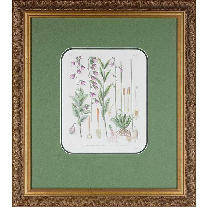 framed artwork Botanical Adenophoria, Lilies Page 257