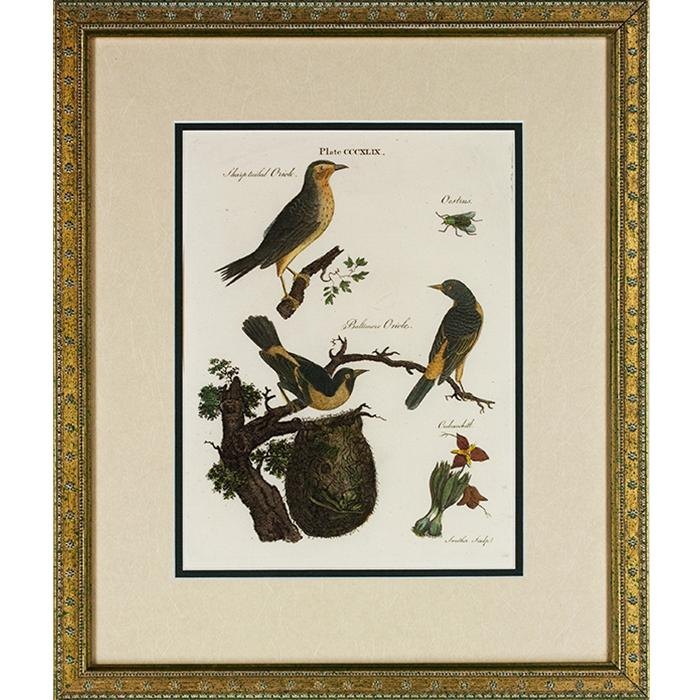 framed book page of Orioles (1790)